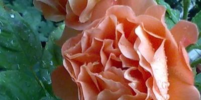 Какого сорта роза у меня растет?