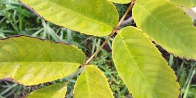 Почему чернеют и сохнут листья маньчжурского ореха?