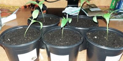 Выращивание сладкого перца в теплице. Записи дилетанта