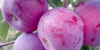 Помогите, пожалуйста, определить сорт яблони