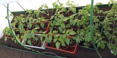 Домашнее задание №14: в добрый путь! Как мы высаживаем рассаду в теплицу и ОГ