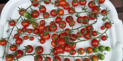 Наши помидоры. Черри и коктейльные