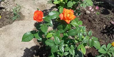 Помогите узнать сорт розы