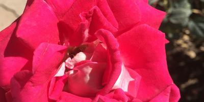 Что за сорт розы?