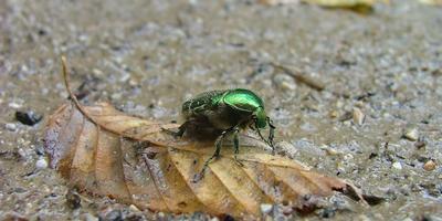 В защиту личинки бронзовки