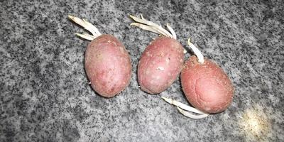 Тёмные дела: как проращивать картошку - в темноте или на свету?