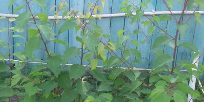 Вырастили из косточек абрикосы. Стоит пересадить или оставить на том же месте до весны?