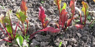 У свеклы мелкие красные листья. Что делать?