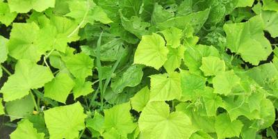 Проблемы с огурцами: пустоцвет, светлеют листья, одна плеть с сухими пятнами. Что делать?