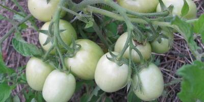 Когда можно снимать помидоры на дозревание?