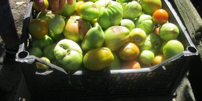 """Закуска из зеленых помидоров """"Кузнечики"""""""