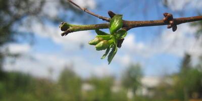 В сентябре зацвела вишня. С чем это связано?