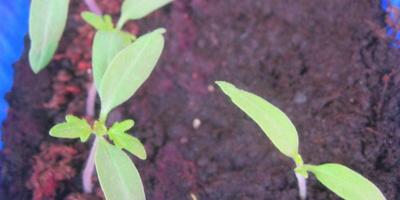 Томат Цитрусовый сад. Тест на всхожесть. Первые ростки
