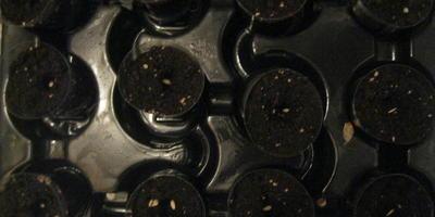 Огурец Малышки-Хрустишки F1. Тест на всхожесть
