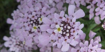 Иберис Гибралтарский - цветок-хамелеон