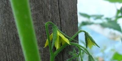 Томат Диковинка. IV этап. Первые цветы