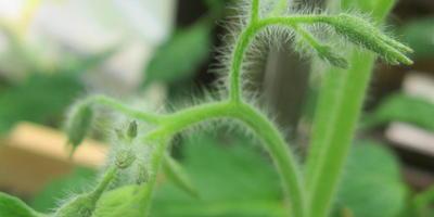 Томат Цитрусовый сад. IV этап. Первые цветы