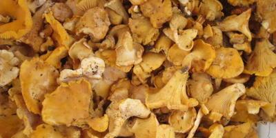 Лисички - любимые грибы