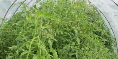 Как правильно прищипывать томаты, чтобы имеющиеся завязи и цветущие кисти не пострадали?