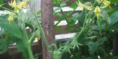 """Томат """"Цитрусовый сад"""". V этап. Первые завязи. Развитие растения"""