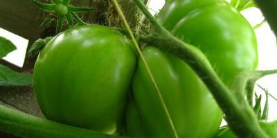 Гордость застолья - самый крупный томат у меня в теплице!
