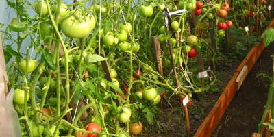 Нужно ли поливать томаты на стадии созревания плодов?