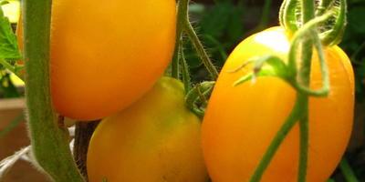Томат Цитрусовый сад. VI этап. Созревание плодов