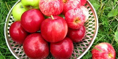 Первые яблочки - любимые с детства!