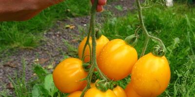 Томат Цитрусовый сад. Этап 6. Последние плоды