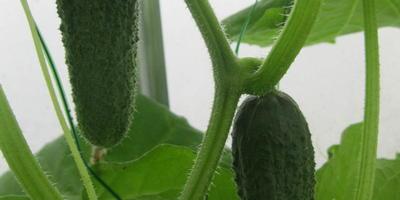 Общие впечатления от тестирования семян Аэлита. Как это было