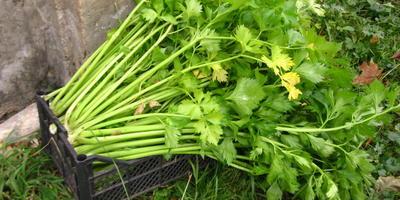 Как хранить и заготавливать черешковый сельдерей?