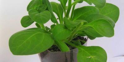 Петуния Варвара Краса. 4 этап. Развитие растений и уход за ними