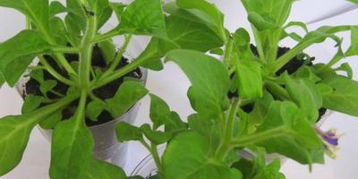 Петуния Татьяна F1. 4 этап. Развитие растений и уход за ними