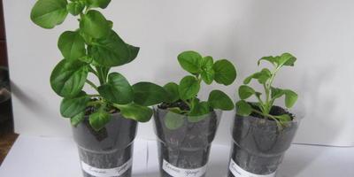 Петуния Елена Прекрасная F1. IV этап. Развитие растений и уход за ними