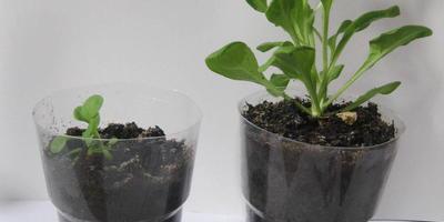 Петуния Синеглазка F1. 4 этап. Развитие растений и уход за ними