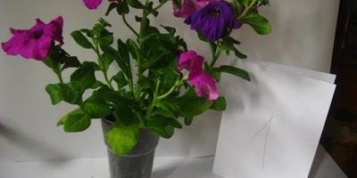 Комплиментуния лиловая F1. 4 этап. Развитие растений и уход за ними