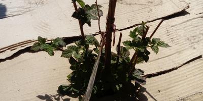 Мульчируем плодовые кустарники картоном - спасаем урожай!