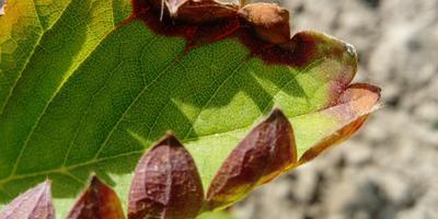 Почему листики клубники сначала краснеют по краям, потом сохнут?