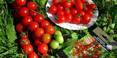 Терек F1- мой секрет урожайных черри помидорчиков