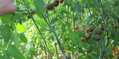 Черный шоколад - секрет экзотических, невероятно сладких помидоров!