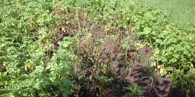 Картофельная ботва гниет от дождей, а до сбора урожая еще месяц. Что делать?