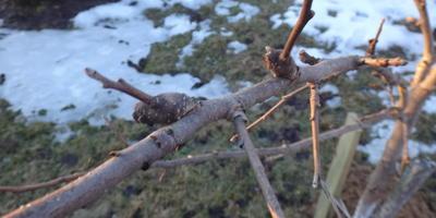 Необычные почки на яблоне - это будущие цветы или вредители?