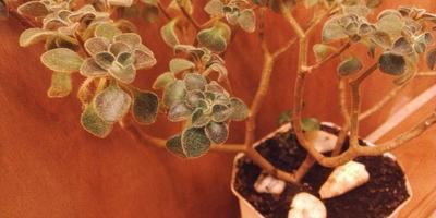 Подскажите, пожалуйста, название этого растения