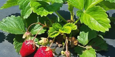 Как заставить клубнику больше плодоносить?
