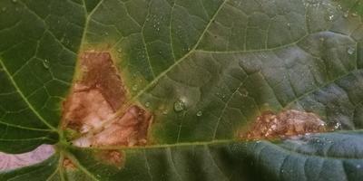 Помогите, пожалуйста, определить болезнь огурцов