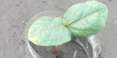 Как защитить капусту от нашествия вредителей