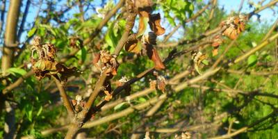 Почему цветы и листья яблони стали коричневые и высохли?