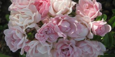 Роза полиантовая, очень маленькие розочки, но до чего нежные