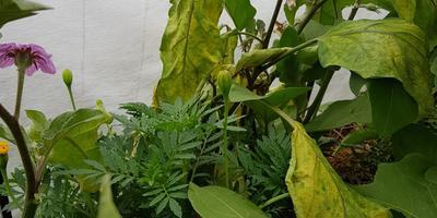 Почему желтеют и вянут листья баклажанов?