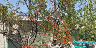 Тестирование секатора прямого реза PALISAD. Обрезка абрикоса